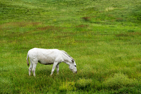 Wild burro at Custer State Park in South Dakota
