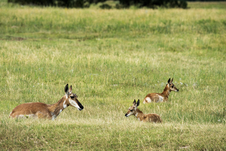 Pronghorn and calf at Custer State Park in the Black Hils of South Dakota