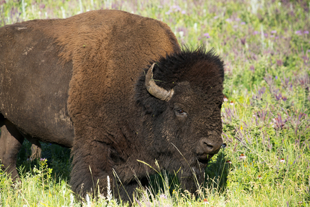 Bison heard at CUster State Park in the Black Hills of South Dakota