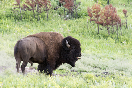 Bison herd at Custer State Park in the Black Hills of South Dakota Stock Photo