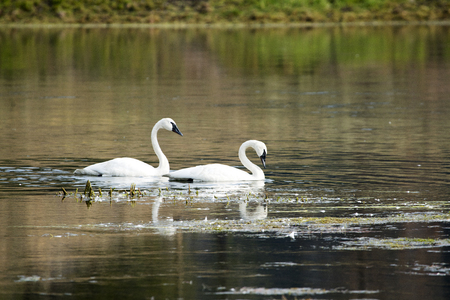 A pair of Trumpeter Swans in the Yellowstone River at Yellowstone National Park