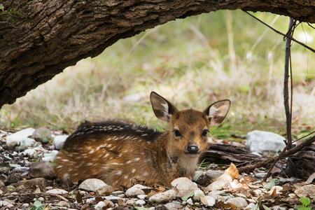 Resting Fallow Deer at GarnerState Park in Texas.