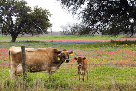 Babycalf in a pasture of wildflowers near San Antonio, Texas Banque d'images - 120555285