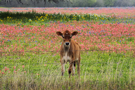 Babycalf in a pasture of wildflowers near San Antonio, Texas Banque d'images - 120555307