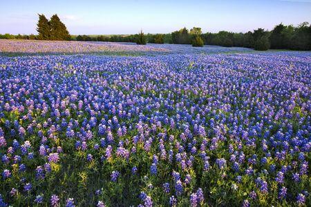 Bluebonnet wypełnił Meadow na szlaku Ennis Bluebonnet w hrabstwie Ellis w Teksasie.