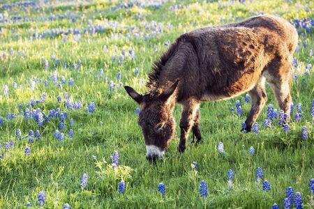 Burro Grazing in a Bluebonnet Filled Meadow in Texas