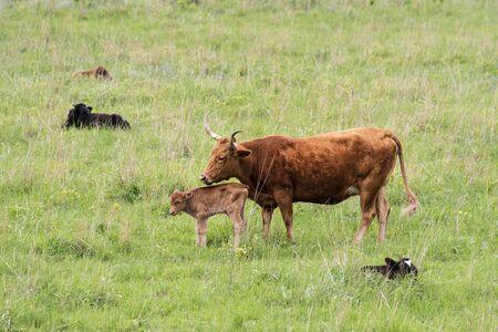 Texas Longhorn at Wichita Mountains National Wildlife Refuge near Lawton, Oklahoma