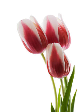 Photo of three red and white tulips isolated on white