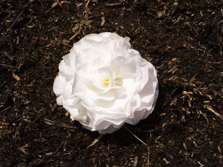 Photo of a carnation flower surrounded by dirt