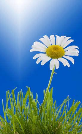 shasta daisy: Shasta daisy in grass with a blue background