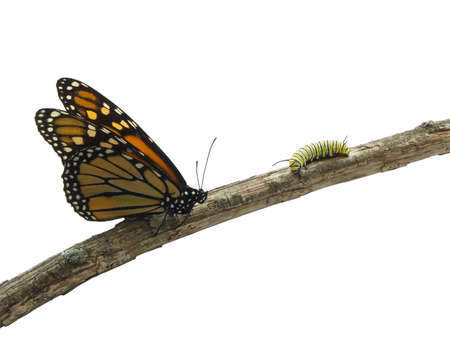 Monarch butterfly and a caterpillar on a twig