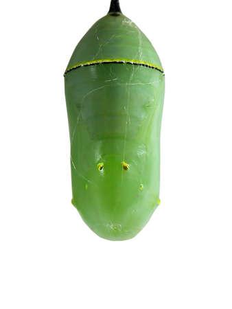 モナーク蝶の蛹が白で隔離