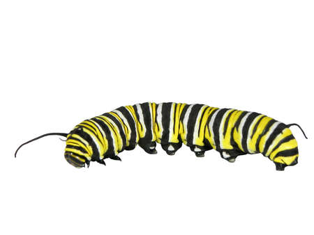 Monarch caterpillar isolated on a white background