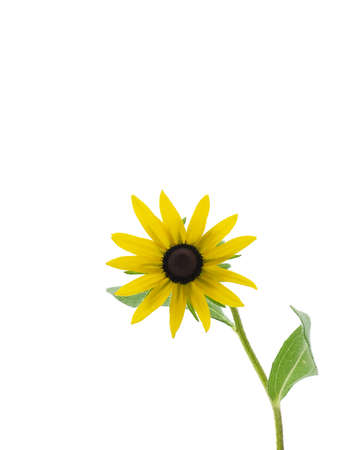 susan: Black-eyed susan isolated on a white background