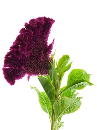 Crested cockscomb flower isolated on white Archivio Fotografico
