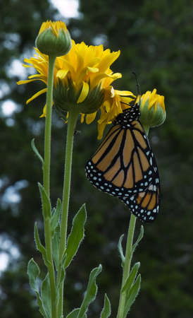 Monarch butterfly perched on a yellow flower Stock Photo - 1479707