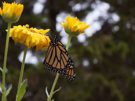 Monarch butterfly on a flower in nature Stock Photo - 1592611