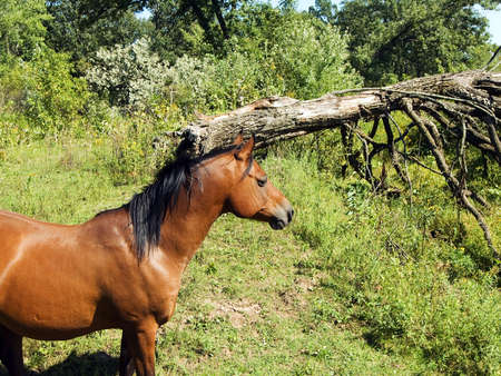 steed: Large brown horse in the wild