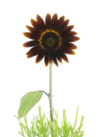 Crimson sunflower growing out of grass, isoated on white 版權商用圖片