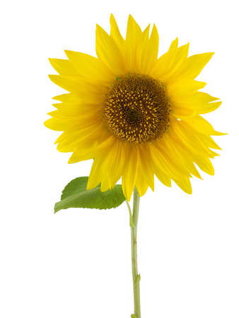 Sunflower isolated on a white back ground Stok Fotoğraf