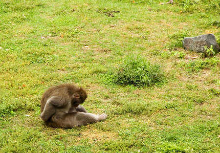 Lonely white cheeked gibbon ape,  sitting alone in the grass