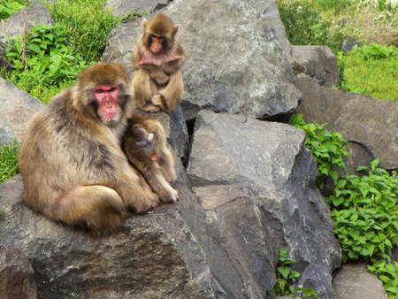 White cheeked gibbon ape  sitting on rocks Stock Photo