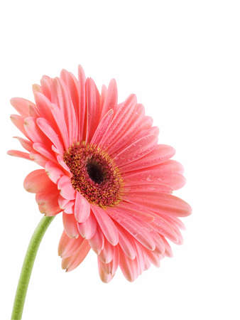 Gerbera daisy isolated on a white background Stock Photo