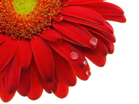 Red gerbera daisy with the focus on the petals and water drops