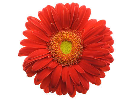 Red gerbera daisy isolated on a white background Archivio Fotografico