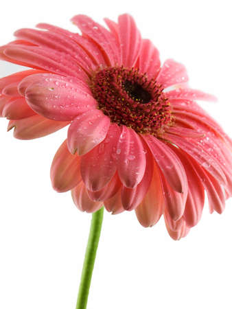 Pink gerbera daisy isolated on a white background Stock Photo