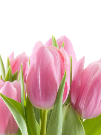 Pink tulips isolated on a white background