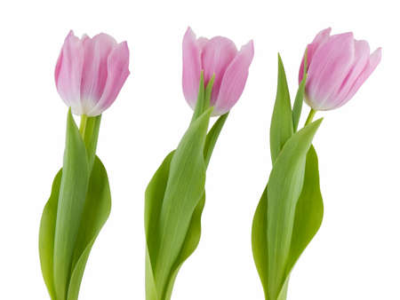 Three pink tulips isolated on a white background Stock Photo