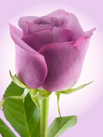 光紫色の背景に撮影した紫のバラ 写真素材
