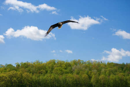 Bald eagle soaring in the sky