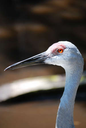 sandhill crane: Close up of a sandhill crane