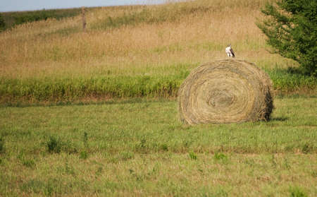 redtail: Red-tail hawk perched on a hay bale Stock Photo