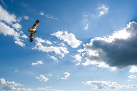 高騰の未熟な白頭鷲