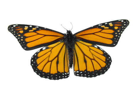 Monarch butterfly isolated on a white background Stock Photo - 3636587