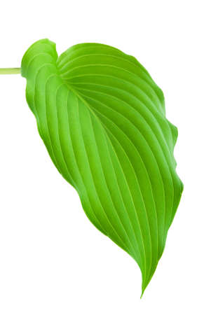 hostas: Hostas plant leaf isolated on white background Stock Photo