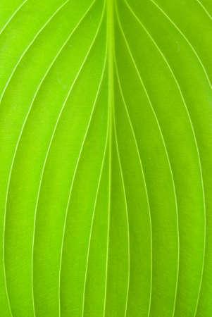 hostas: Close up of a hostas plant leaf