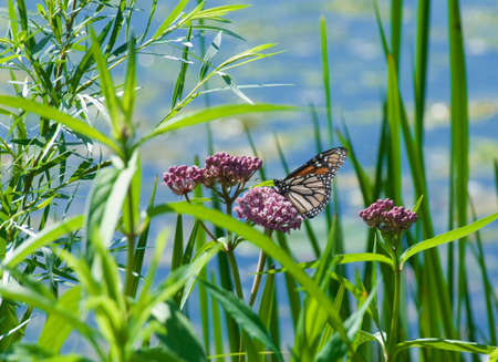 milkweed butterfly: Monarch butterfly perched on a milkweed plant Stock Photo
