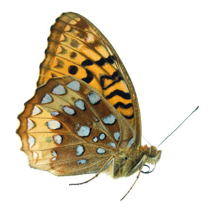 spangled: Great spangled fritillary butterfly isolated on white