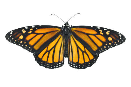 Monarch butterfly isolated on a white background Stock Photo - 5458706