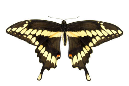 Giant swallowtail butterfly isolated on a white background Stock fotó