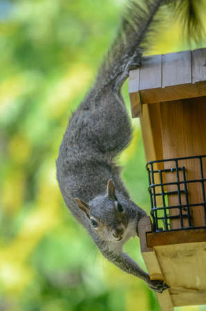 A squirrel caught in the act robbing from the birdfeeder. Stock Photo