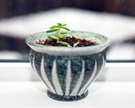 Succulent clipping growing in pot on window sill
