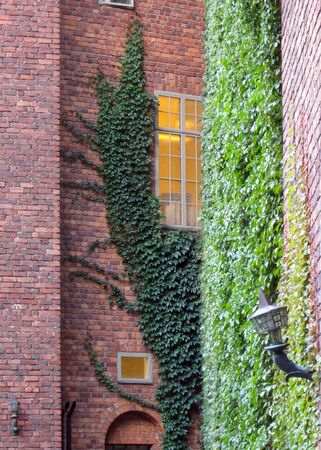 Ivy growing on a tall brick wall