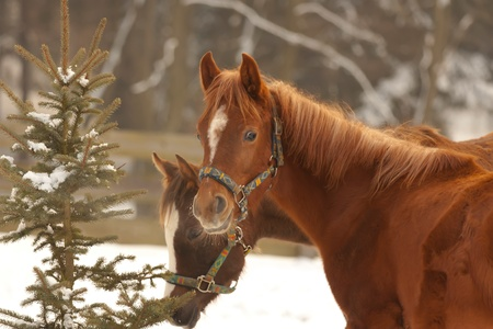 Horses in winter day