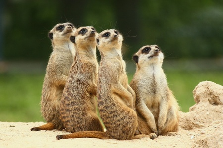 Meerkats  Suricata   all sit together and look at the sky 版權商用圖片 - 12997304