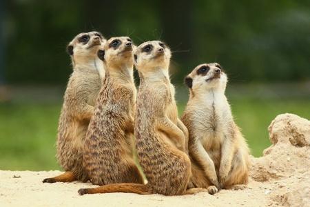Meerkats Suricata allemaal samen zitten en kijken naar de hemel Stockfoto